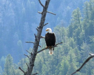 Bald Eagle posing for a picture