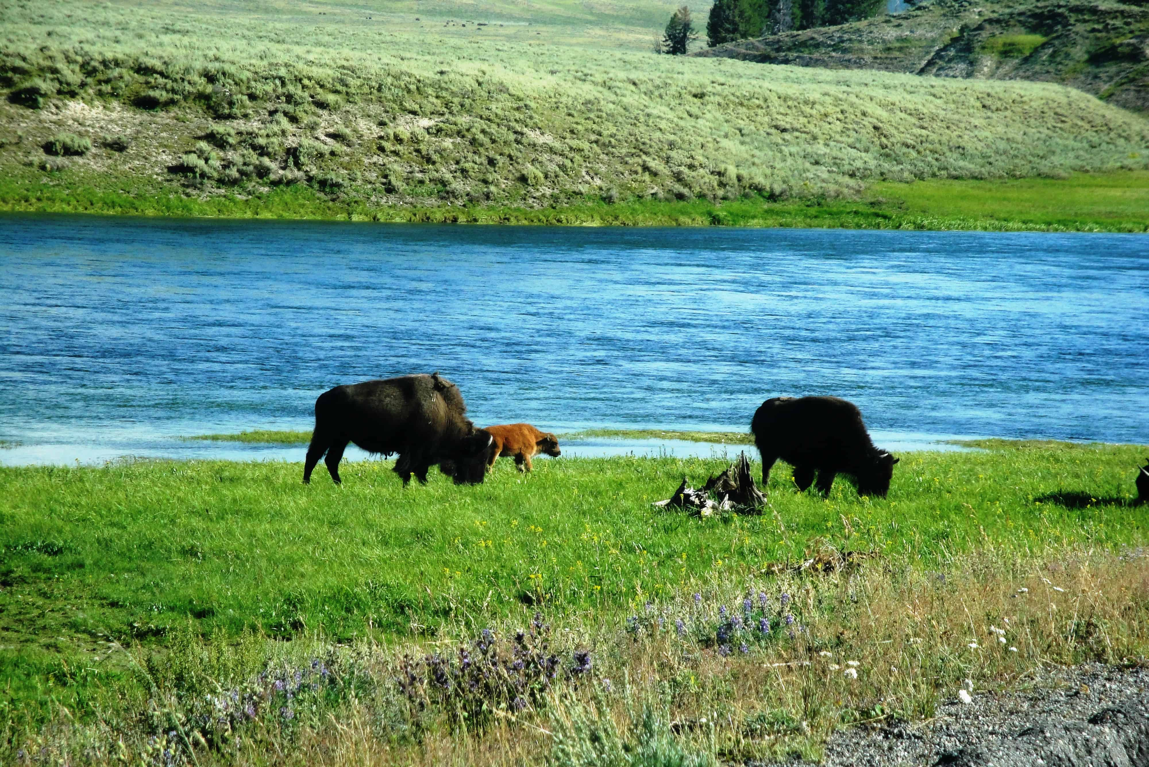 Yellowstone Nat'l Park & Grand Teton Nat'l Park – 2011