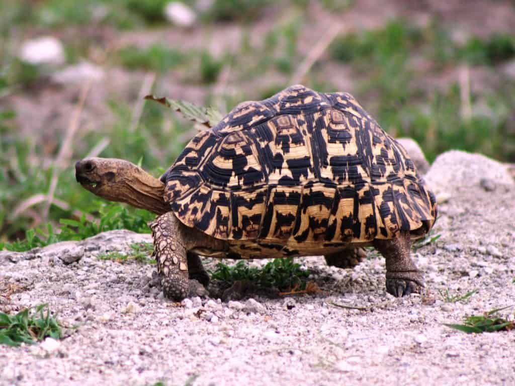 Leopard Tortoise taking one step at a time